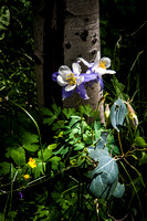 Spotlight of columbines